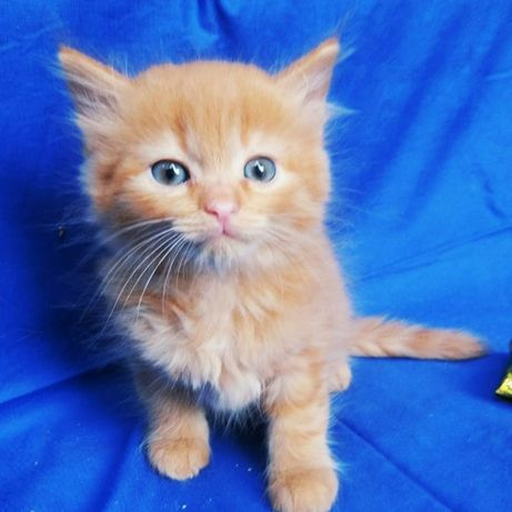 Отдам рыжего котёнка, мальчик,  1,5 месяца