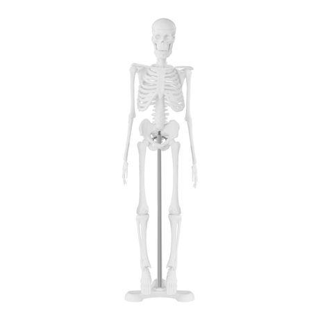 Модель скелета людини physa 45 см человека - АНАТОМИЧЕСКАЯ МОДЕЛ