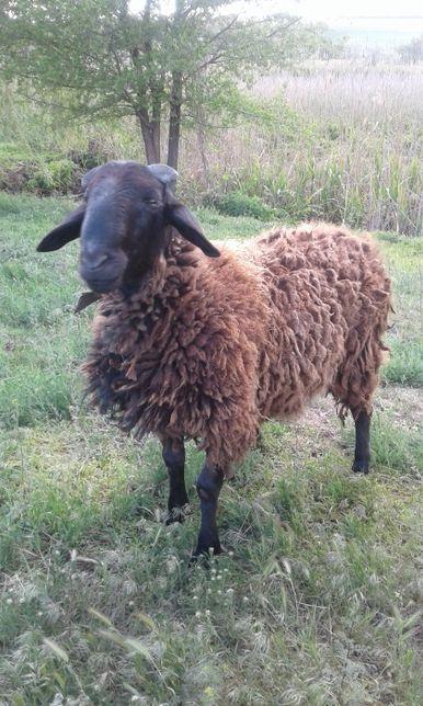 Продам барана- порода курдючных