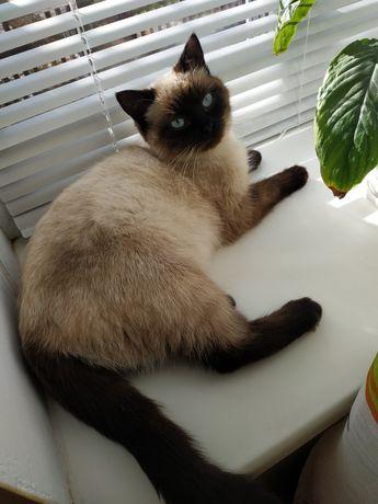Кошечка ищет жениха Сиамского кота