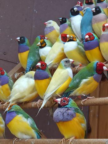 Amadyna wspaniała amadyny wspaniałe ptaki egzotyczne