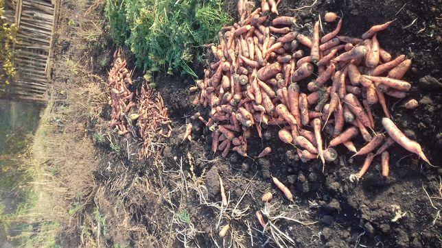 Продам моркву  буряк  капусту