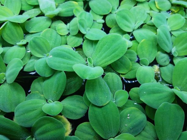Roślina pływająca do akwarium Pistia
