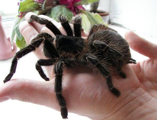 lasiodora parahybana самка павука паук птицеед тарантул