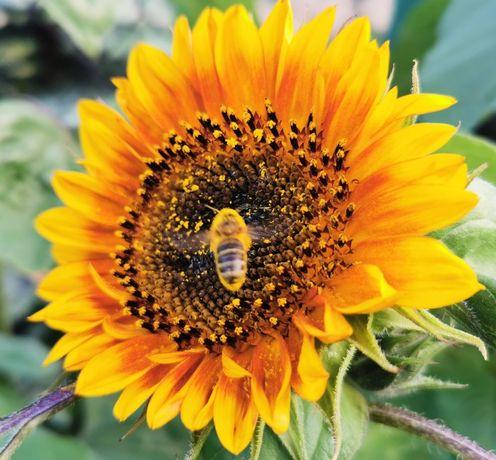 Nasiona słonecznika ozdobnego, słonecznik ozdobny na kwiaty