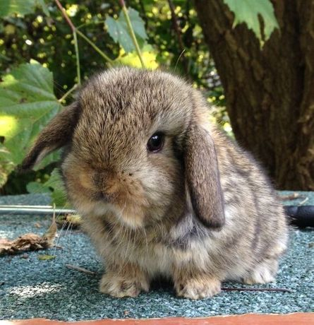 Кролик Mini Lop , NHD , вислоухий баранчик , декоративний кролик