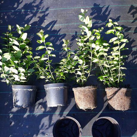 2,5-letnie sadzonki borówki amerykańskiej DUKE, CHANDLER 2L-doniczka