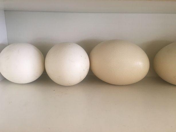 Strusie jajo, jaja konsumpcyjne lub legowe