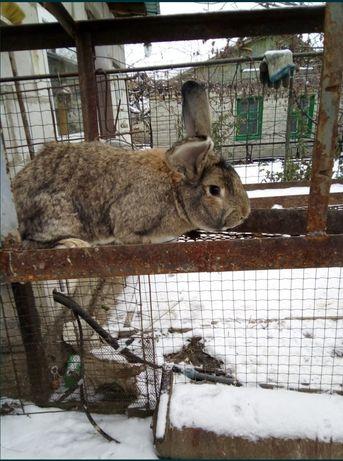 кролики  Фландр, НЗК, калифорния