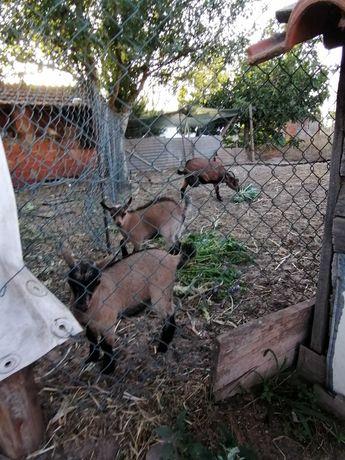 Cabras anãs bebés