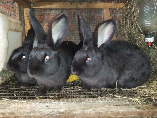 Кролики и кроли взрослые