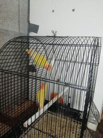 Aves agapornis amarelos