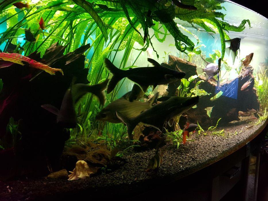 Kryptokoryna karbowana roślinki akwariowe Baniocha - image 1