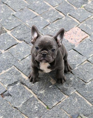 Мальчик необычайно красив. Французский бульдог 3,5 мес.