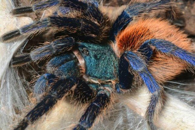 подарок набор, паук птицеед, павук, экзотическое домашнее животное