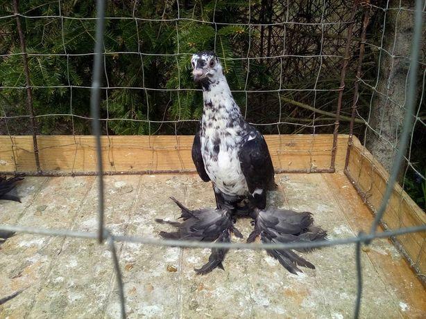 Widyn czarny - gołębie ozdobne