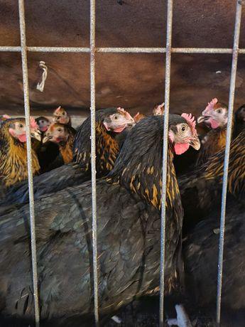 Молодые куры Супер Харко, куры, несушка, курка