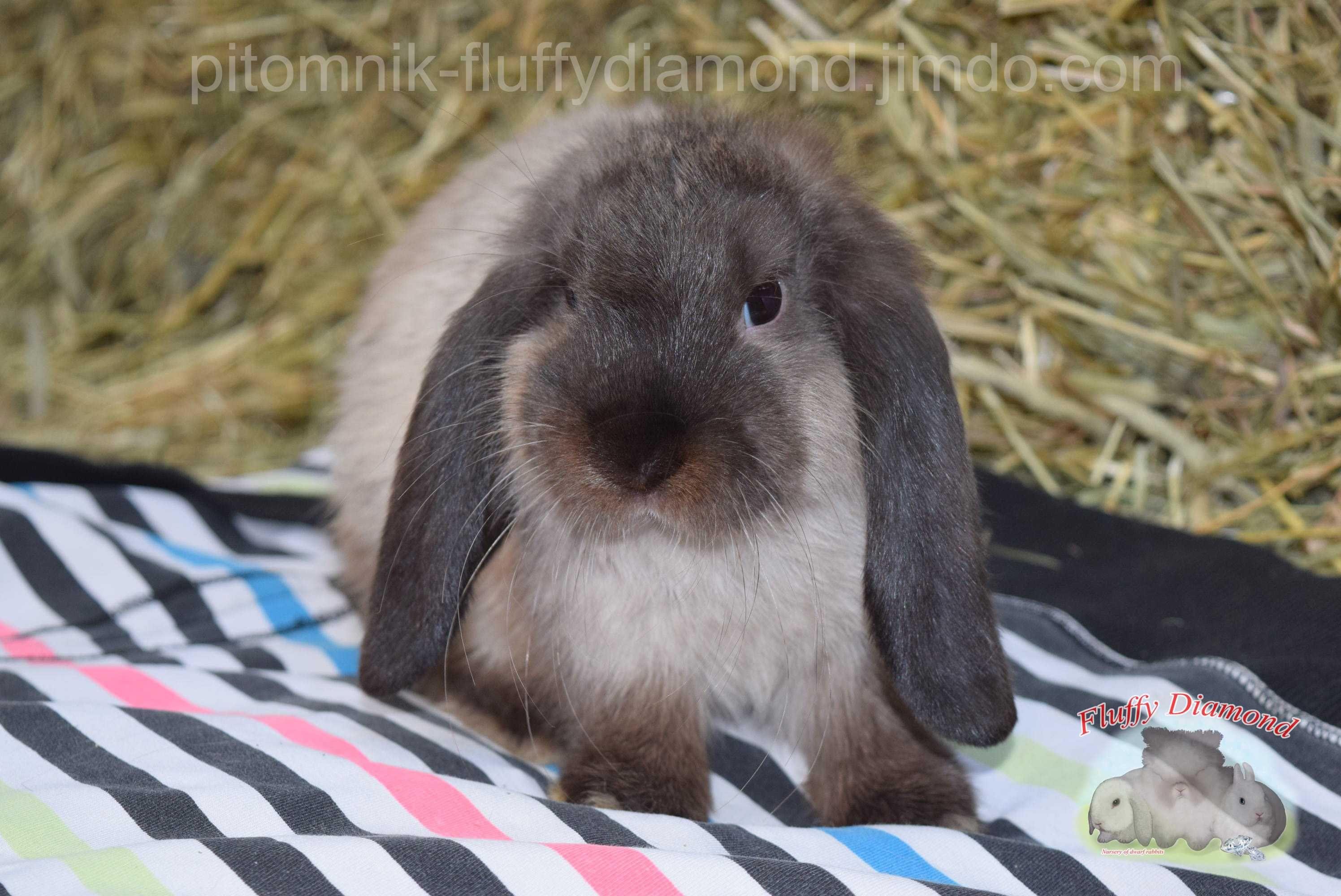 Коричневый мардер  Вислоухий кролик редкого окраса