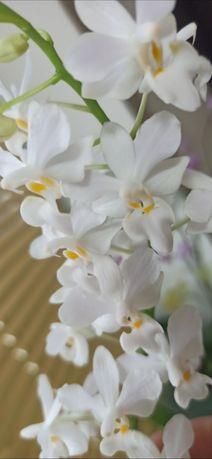 Орхидеи домашние детки Эквестрисы