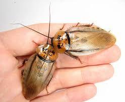 Таракан Eublaberus postiсus