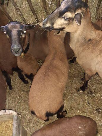 Sprzedam 6 owiec rasy barbados