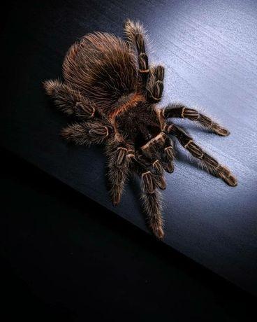 Lasiodora parahybana новичкам самка молодая паука птицееда