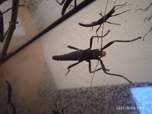 Okazja Straszyk Diabelski, owad