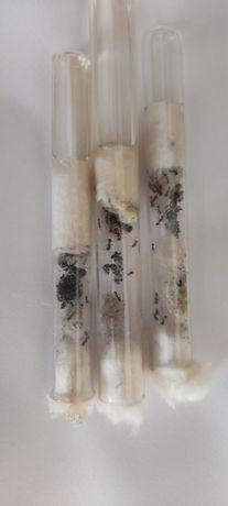 Муравьи вида ( Messor structor или муравьи Жнецы )