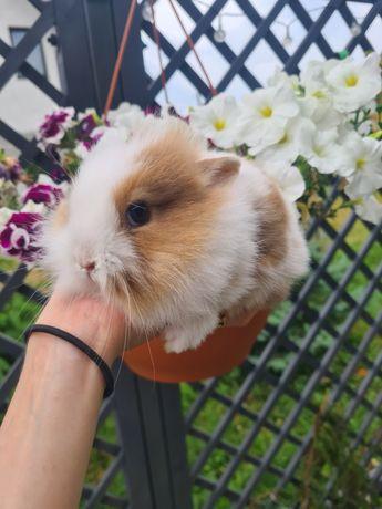 Królik króliczek miniaturka długowłosa
