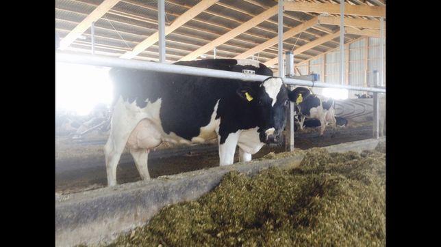 Sprzedam krowy pierwiastki jałówki stado krów jałówki hodowlane