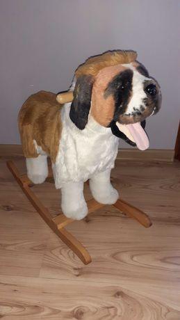 Pies Bernardyn na biegunach.
