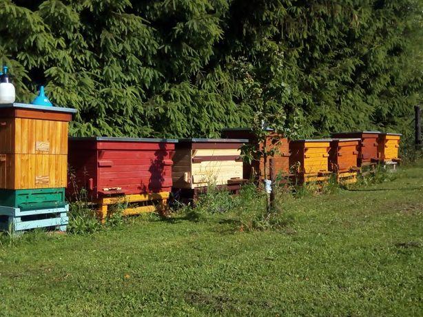 Przezimowane rodziny pszczele, pszczoły, ule, matki pszczele