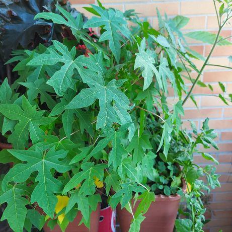 Planta papaia 45cm