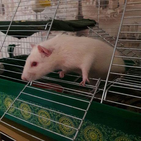 Отдам белую крысу в хорошие руки вместе с клеткой и всем необходимым