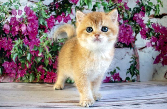 Чистокровный, британский короткошерстный котик
