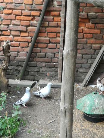 Do sprzedaży gołębie