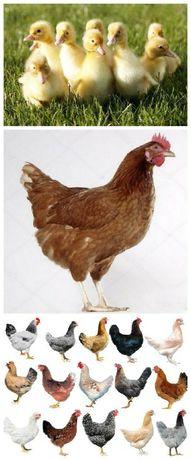 Кури, курчата, каченята, комбікорм