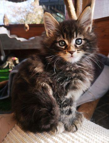 Koty Maine Coon ALVINE COON * cudowne kocięta