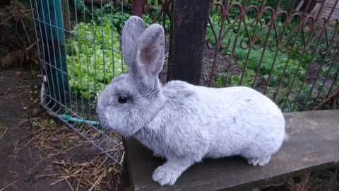 WJS samczyki wielki jasnosrebrzysty króliki