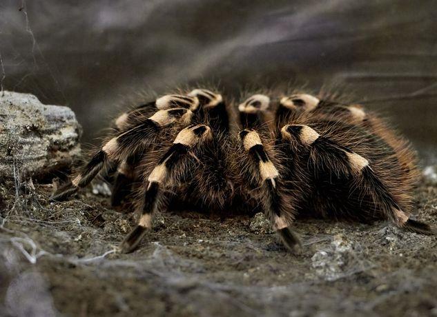 Тарантул павук для новачків птахоїд тваринка домашня