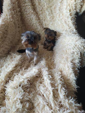 Miniaturka York piesek xxxs mini Yorkshire terrier yorki