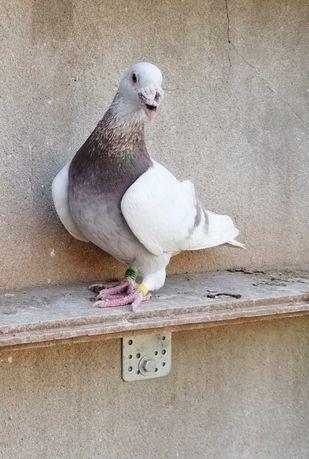 Gołębie staropolskie.
