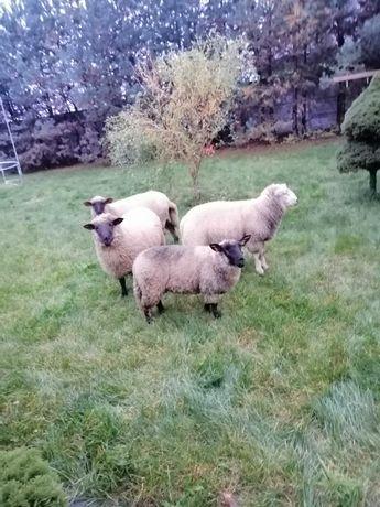 Owce jagnięta baranki