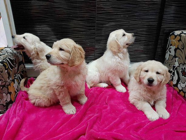 Golden retriever - cudowne szczeniaki