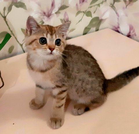 Британские золотые пятнистые котята Власта и Вольт
