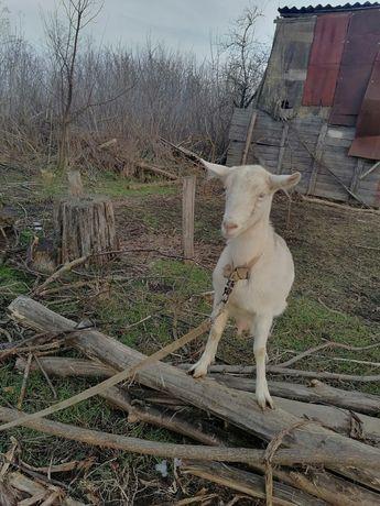 Продається коза кітна