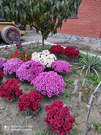 Хризантемы шаровидные, черенки, саженцы