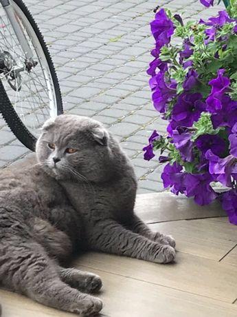 Кіт /Кот Шотландський Вісловухий голубого окрасу