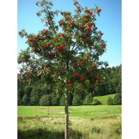 Jarzębina jadalna jarząb czerwona wysokość 180cm