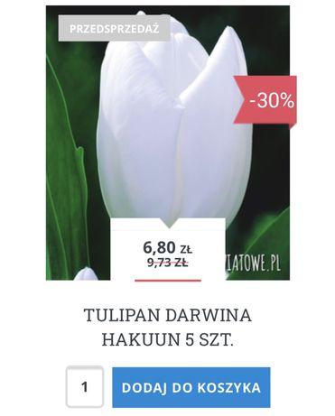 Tulipan 55 szt darwina